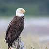 Lone Bald Eagle on driftwood perch at beach flats of Hallo Bay.