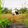 Amesbury: A cow rambles around a field at Pender Farm on South Hunt Road in Amesbury on Wednesday afternoon. Bryan Eaton/Staff Photo