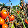 Rowley: The leaved have browned, but Steve Harrison's tomatoes are still bright orange for the picking. The Rowley resident attributes the good yield to a lot of compost for fertilizer and keeping in moisture for his crop this year at the Rowley Community Garden. Bryan Eaton/Staff Photo