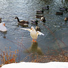 Cher duck canal towpath wings snow FB2