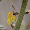 Paper Wasp on Catkins
