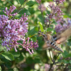 Hummingbird Moth and Lilacs