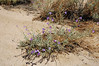 Mojave beardtongue - Penstemon incertus (PEIN3)