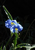 Erect dayflower at Aden Lava Flow, summer 2013, Dona Ana Co, NM
