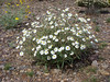 Plains blackfoot - Melampodium leucanthum (MELE2)