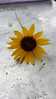 Common sunflower - Helianthus annuus (HEAN3)