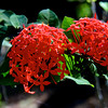 Ixora Plant With Beautiful Red Flowers<br /> Lintha Village<br /> <br /> Ngapali, Burma<br /> 29 November 2012
