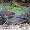 0496_Superb Lyrebird