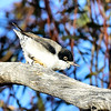 0680_Black-headed Varied Sittella (Race pileata)