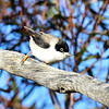 Black-headed Sittella