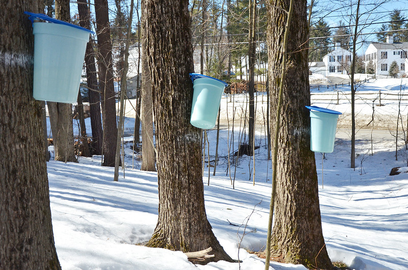 3/16/14 -- GRO_Syrup -- Buckets collect sugar on the property of John Ellenberger, of Groton. (SUN/Ashley Green)