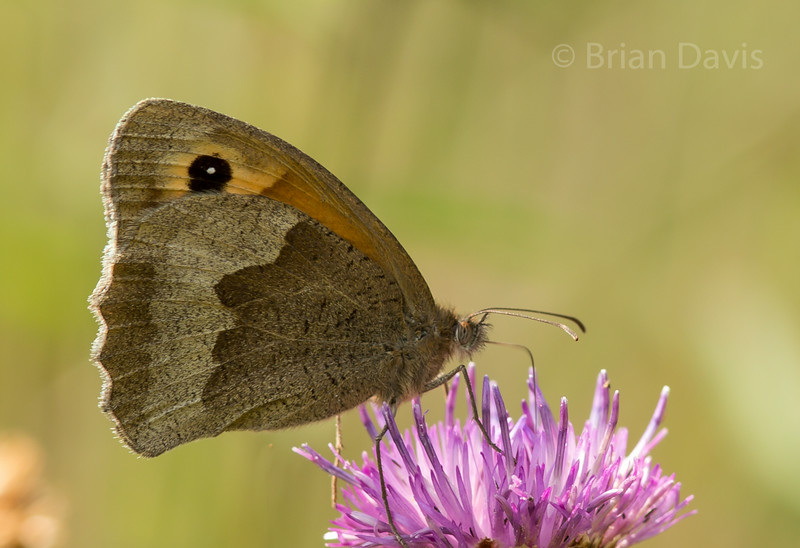 Meadow Brown 3