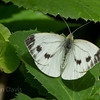 Green Veined White 2