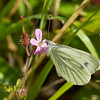 Green veined White 1