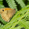 Meadow Brown 2