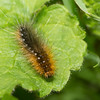 Garden Tiger Moth caterpillar
