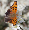 question mark butterfly feeding on beach plumb flowers