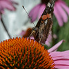 Red Admiral Butterfly on Purple Coneflower