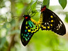 """Make Love Not War"" Male & Female Cairns BirdWing Butterfly - (Ornithoptera Priamus) #44090904  © Payam Nashery - Photoarts"