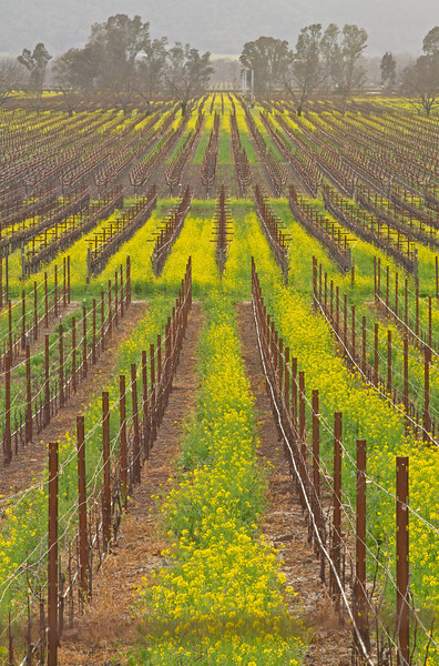 Spring vines at Napa Vineyard