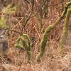 Roe deer in bushes, Islay