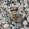 Common gull chick, Isle of Islay, Scotland