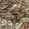 Nightjar with two chicks, Aldabra