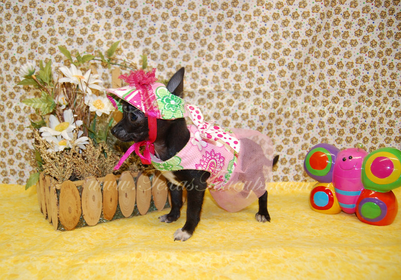 "PUPPY NUMBER # ADOPT CHI 2102<br /> My New Owners Name: Ronnie L.<br /> Puppy's Name: Daddy's Girl<br /> Date Adopted : February 2010<br /> <br /> FROM: Ennis, TX<br /> BREED: Chihuahua<br /> SEX: Female<br /> COLOR: Black w/white markings<br /> DATE OF BIRTH: 10/14/09<br /> <br /> Pet Boutique Sales Representative: Ginger<br /> <br /> Customer Comments:  Doing great!<br /> <br /> If you purchase a puppy in this photo gallery and would like for us to add your puppy's name and comments to the puppy you have purchased. <br /> Send an e-mail with your full name, puppy's name and puppy number to us along with any comments you would like to add to your puppies photo.<br /> You may also send photos of your family members with or without puppy and we will add it to your puppy's photo gallery. <br /> <br /> ==== ( TeacupPets@TexasTeacups.com ) ====<br /> <br /> This Photo is copyright protected by <a href=""http://www.TexasTeacups.com"">http://www.TexasTeacups.com</a>"