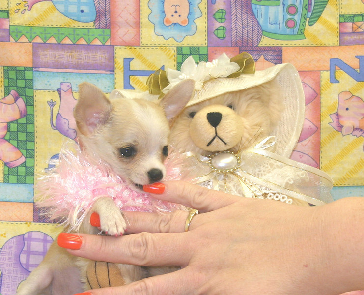 "CHIHUAHUA<br /> <br /> ( This is a sample picture of a previously sold puppy )<br /> <br /> Join our e-mailing list and you will be notified when we post new puppy pictures!<br /> <br />  <a href=""http://www.texasteacups.com/Join_Our_E-Mailing_List.html"">http://www.texasteacups.com/Join_Our_E-Mailing_List.html</a><br /> ^ Click Here ^<br /> <br /> Receive an e-mail notice only when we post new pictures in the breed that you are interested in.<br /> <br /> Receive an e-mail notice only when we have free & lower priced adoption pets.<br /> <br /> Receive an e-mail notice only when we have super coupons with large discounts on puppy purchases.<br /> <br /> Receive an e-mail notice only when we post new pictures in all breeds.<br /> <br /> The choice is yours, you select only the type of e-mail notices that you want to receive.<br /> <br /> You easily can un-subscribe at any time.<br /> Link to join our e-mailing list can also be found at the bottom of any page on our web site.<br /> <br /> Link Updated 8-20-2009"