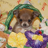 Puppy Number  CHI 117  Sold to priority customer Shay H.  Date Sold: April 2006 Breed:  Long coat Chihuahua Sex: Female  DOB: 2-21-06 Size: Tiny Teacup Price: $2875.00 Personality: Sweet, quiet but with little bit of a silly side.  Click the ( BUY THIS PHOTO ) icon under photo to purchase this puppy picture. Photos are available in wallets, 8 X 10, 5 x 7, on key chains, mouse pads, back packs, coffee mugs and T-Shirts and more. This Photo is copy right protected by: Teacup And Toy Pets