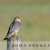 Merlin, prairie subspecies richardsoni, Alberta prairie, 4 July 2014