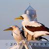 subadult and adult Masked Booby, Long Beach buoy, Los Angeles County, 22 October 2013