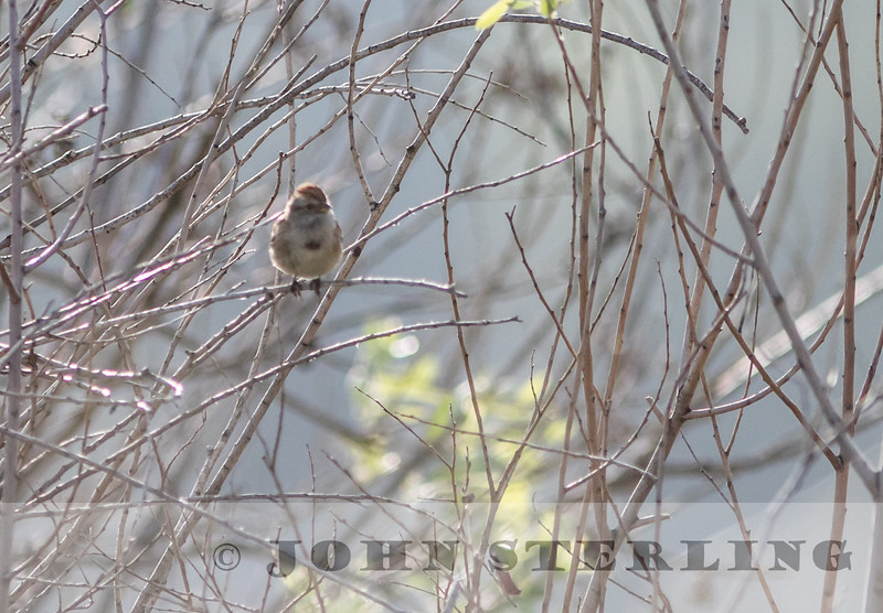 American Tree Sparrow; Castaic Lagoon, Los Angeles County; found in January
