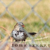 Harris's Sparrow; Loyalton, Sierra County; 25 January 2015