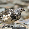 White-tailed Ptarmigan, Jasper National Park, Alberta, Canada, 1 July 2014