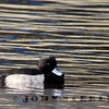 Tufted Duck; Lake Merritt, Alameda County, 21 November 2013