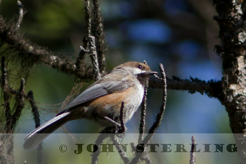 Boreal Chickadee, Jasper National Park, Alberta, Canada, 1 July 2014