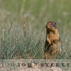 Columbian Basin Ground Squirrel, Jasper National Park, Alberta, Canada, 1 July 2014