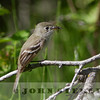 Least Flycatcher, Alberta prairie, 4 July 2014