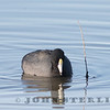 American Coot; Yolo Basin W.A., April 2015