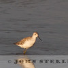 Marsh Sandpiper, Liberty Island Road, Solano County, CA; found by Roger Muscat on 9 April 2014