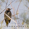 Yellow-shafted Flicker;  Zyzzyx, San Bernardino County, 14 November 2013