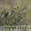 LeConte's Sparrow, Jasper National Park, Alberta, Canada, 1 July 2014