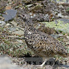 White-tailed Ptarmigan, aka Rocky Mountain Seedsnipe, Jasper National Park, Alberta, Canada, 1 July 2014