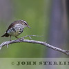 Northern Waterthrush, Glacier National Park, Montana, 5 July 2014