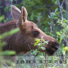 young moose, Jasper National Park, Alberta, Canada, 1 July 2014