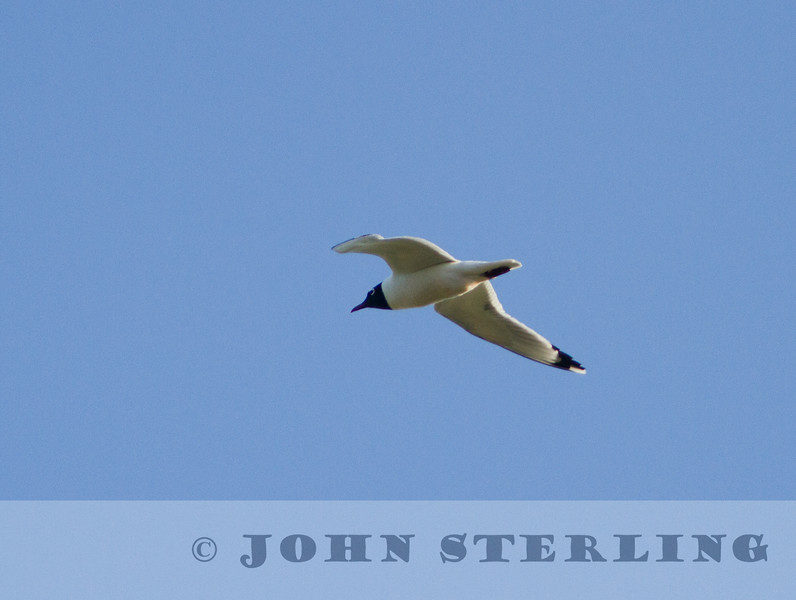 Franklin's Gull, Alberta prairie, 4 July 2014
