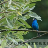 Indigo Bunting, 31 May 2015; Spenceville Wildlife Area, Nevada County;  first county record found by John Luther on previous day