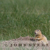 Richardson's Ground Squirrel, Alberta prairie, 4 July 2014