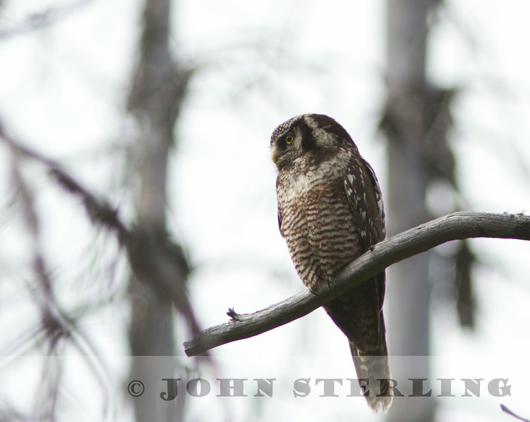 Northern Hawk-Owl, Glacier National Park, Montana, 5 July 2014